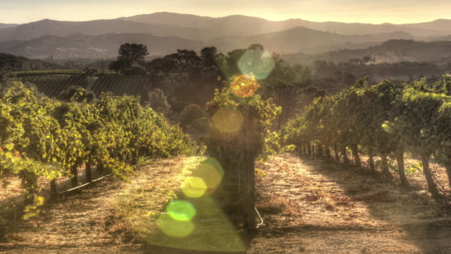grapevines in morning light - vineyard stock videos & royalty-free footage