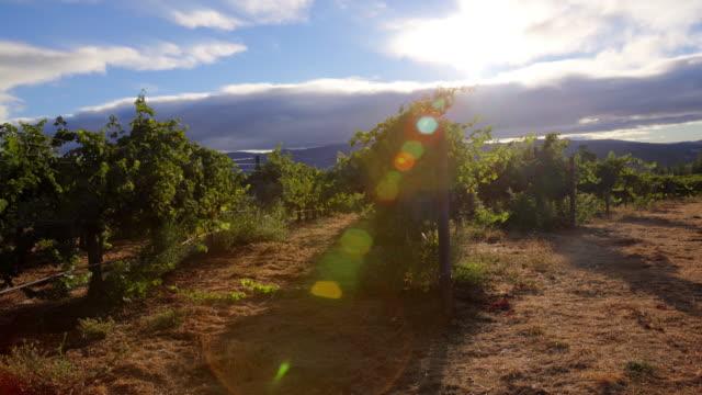 Grapevines in Morning Light