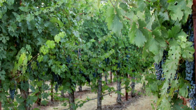 grapevines. panning right. - cabernet sauvignon grape stock videos and b-roll footage