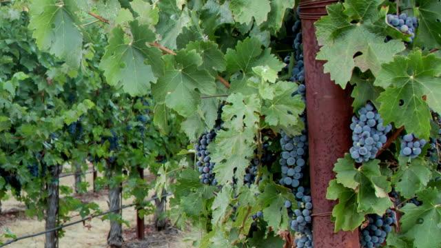vidéos et rushes de vignes. panoramique droit. - raisin noir