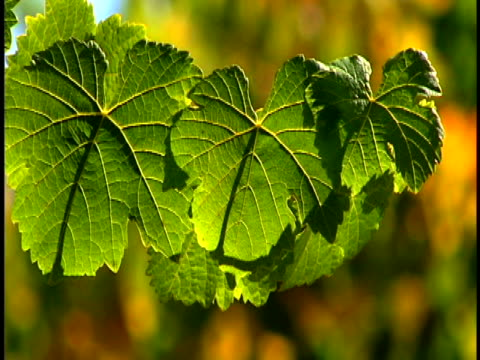 grapevines - grape leaf stock videos and b-roll footage