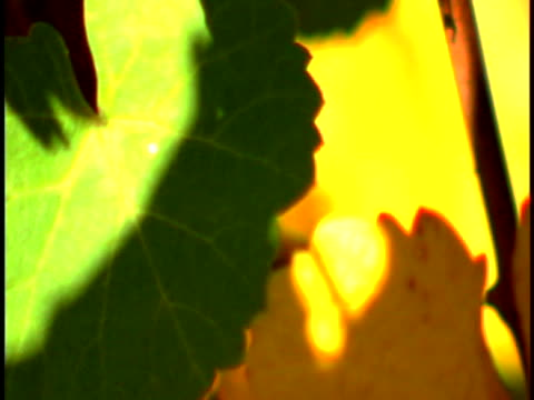 vídeos de stock, filmes e b-roll de grapevines - grape leaf