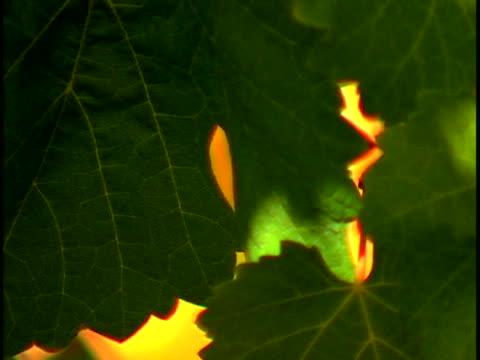 vídeos y material grabado en eventos de stock de grapevines - grape leaf