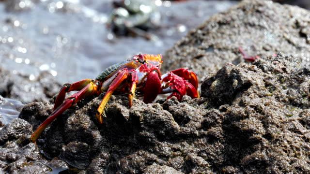 grapsus adscensionis - cangrejo moro, tenerife - rocky coastline stock videos & royalty-free footage