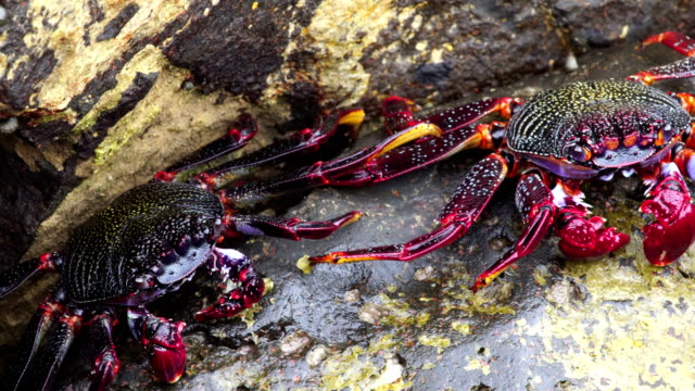 grapsus adscensionis - cangrejo moro, grand canary - grand canary stock videos & royalty-free footage