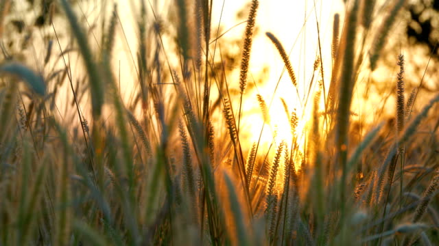 grass against sunset - barley stock videos and b-roll footage