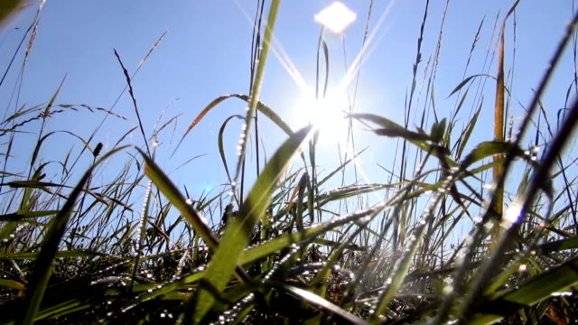 grass and dew - grass family stock videos & royalty-free footage