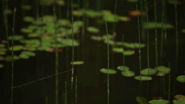 Grass and Lily Pads on Dark Water Surface in Canada