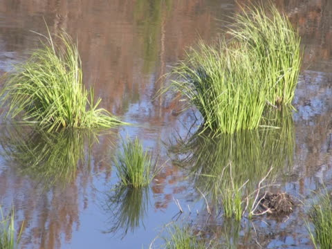 grass and pine tree reflection in the water - pinaceae stock videos & royalty-free footage