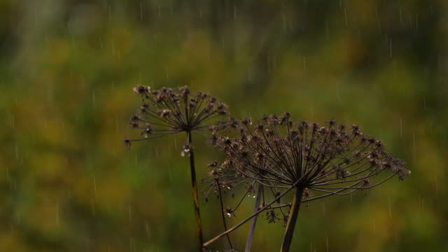 grass and rain in slow motion - altai nature reserve - pinaceae stock videos & royalty-free footage