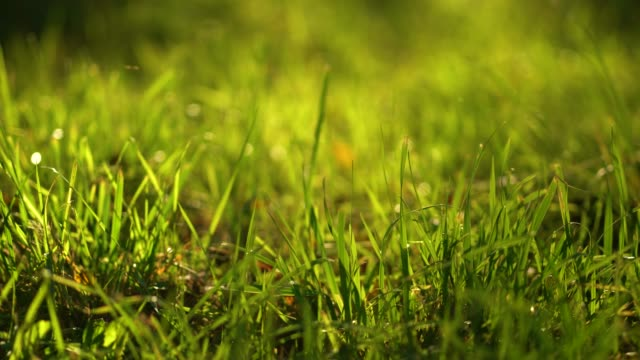 grass blades in sun light. natural background. 4k resolution. - prato rasato video stock e b–roll