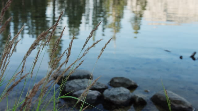 grass blowing in breeze by flowing merced river - merced river stock videos & royalty-free footage