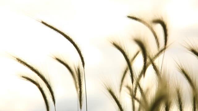 cu selective focus grass blowing in wind against sky, flagstaff, arizona, usa - flagstaff arizona video stock e b–roll