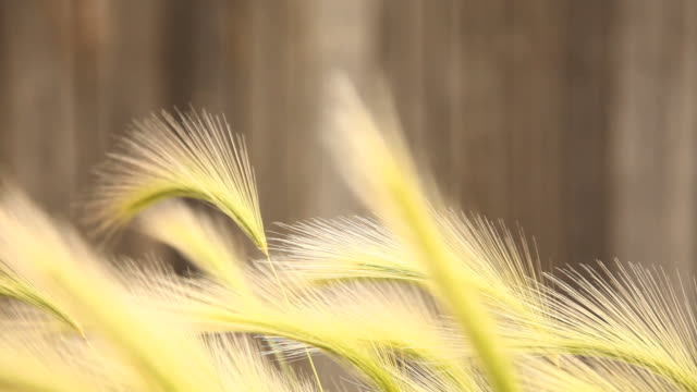 cu selective focus grass blowing in wind, flagstaff, arizona, usa - flagstaff arizona video stock e b–roll