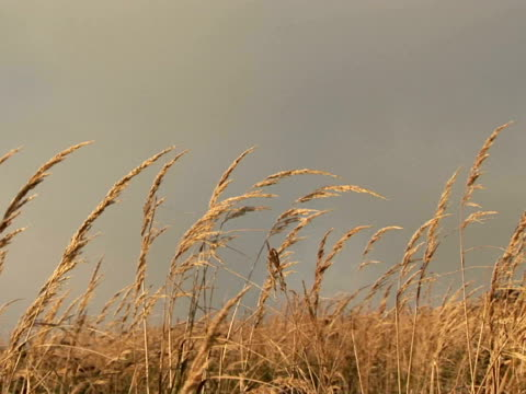 cu, zi grass blowing in wind, fort canby state park, washington, usa - wind点の映像素材/bロール