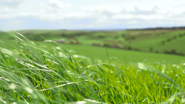 grass blows on windy dairy pasture, cumbria, uk - lush video stock e b–roll