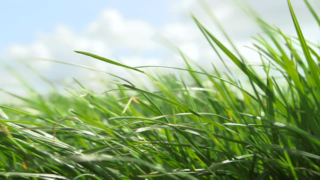 grass blows on windy dairy pasture, cumbria, uk - swaying stock videos & royalty-free footage