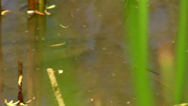 grass carp in pond - reed grass family stock videos & royalty-free footage