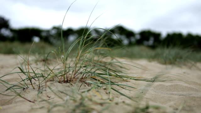 Gras der Dünen-HD