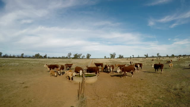grass fed beef cattle heifers drinking during drought. - grazing stock videos & royalty-free footage