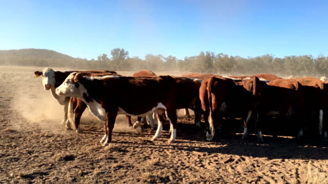grass fed beef cattle heifers feeding from trough during drought - drought stock videos & royalty-free footage