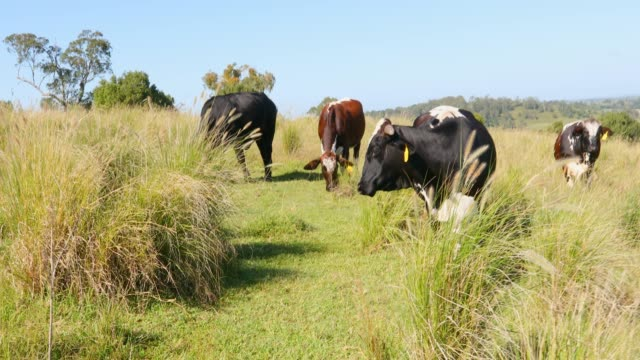 grass fed beef cattle on a farm - grass fed stock videos & royalty-free footage