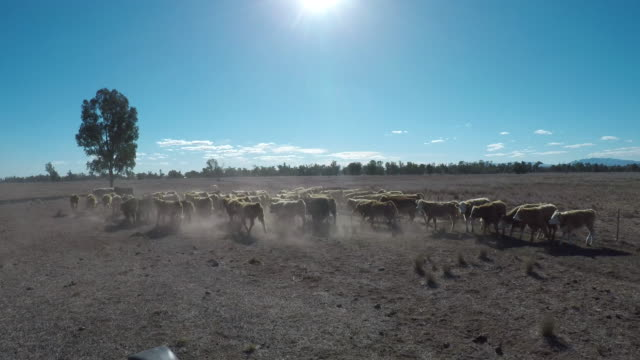 grass fed beef cattle steers muster - herd stock videos & royalty-free footage