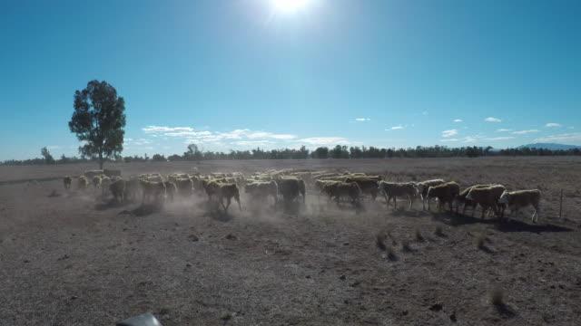 stockvideo's en b-roll-footage met grass gevoed rundvlees vee ossen opbrengen - kudde
