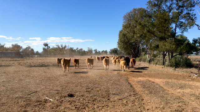 grass fed beef cattle steers muster - drought stock videos & royalty-free footage