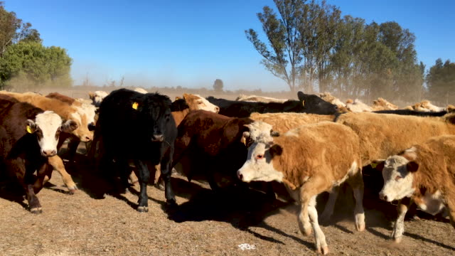Grass fed beef cattle steers muster