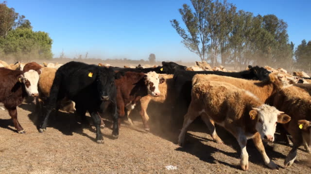 grass fed beef cattle steers muster - beef cattle stock videos & royalty-free footage