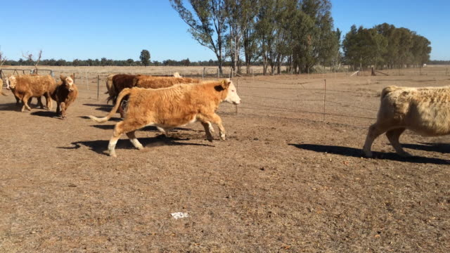 grass fed beef cattle steers muster - grass fed stock videos & royalty-free footage