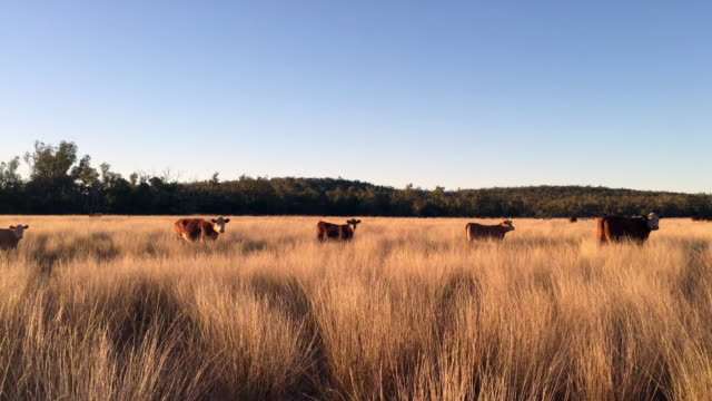grass fed cattle at sunset - scena rurale video stock e b–roll
