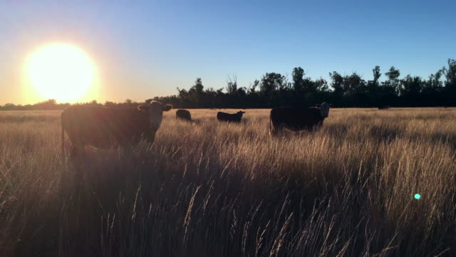 grass fed cattle at sunset - cattle stock videos & royalty-free footage