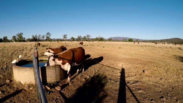 grass fed cattle drinking from a water station at sunset - drought stock videos & royalty-free footage