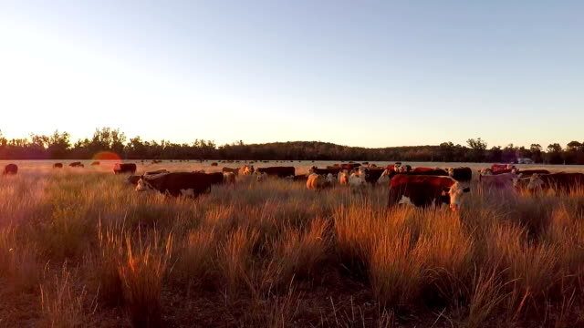 Grass fed Cattle grazing at sunset
