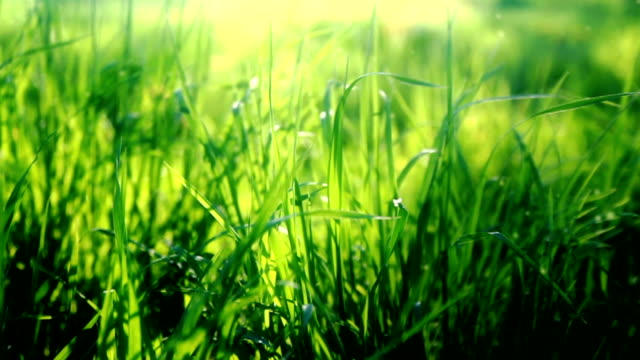 grass field - grass family stock videos & royalty-free footage