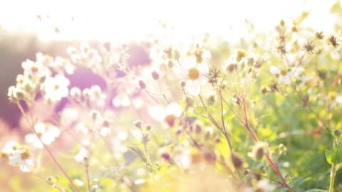 grass blume bei sonnenaufgang - überbelichtet stock-videos und b-roll-filmmaterial