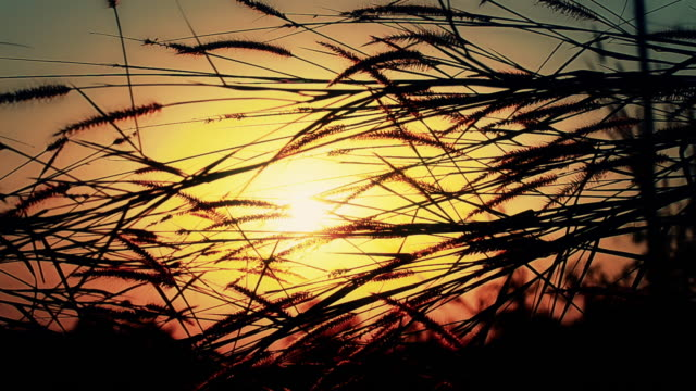 grass flower at sunset - reed grass family stock videos and b-roll footage