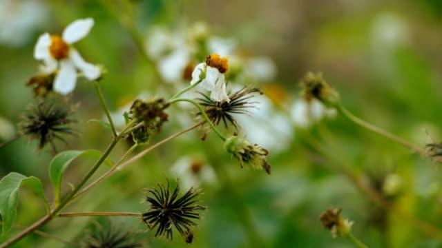 Grass flower Dandelion
