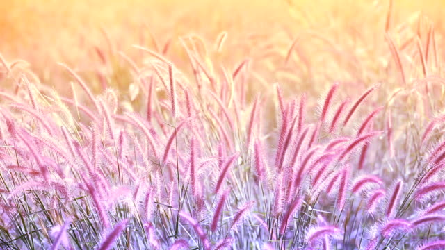 grass flower flew by the wind - grass family stock videos & royalty-free footage