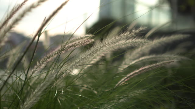 grass flower in the wind with city background - blade of grass stock videos & royalty-free footage
