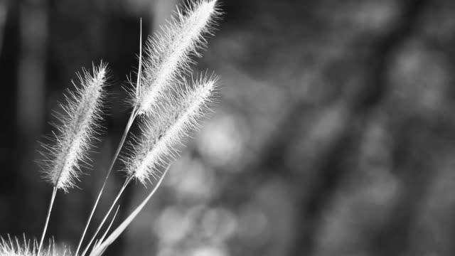 vidéos et rushes de fleur d'herbe dans le vent - flouté