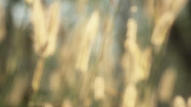 vídeos de stock, filmes e b-roll de flor da grama no vento - foco difuso
