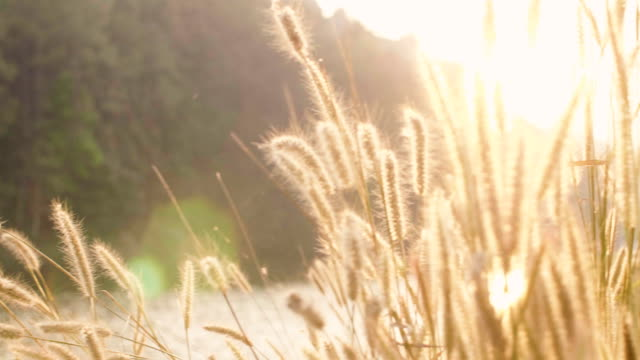 grass flower with wind and sunset - mae hong son province stock videos and b-roll footage