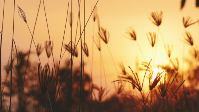 grass flowers golden sunlight in the wind. - sagoma controluce video stock e b–roll