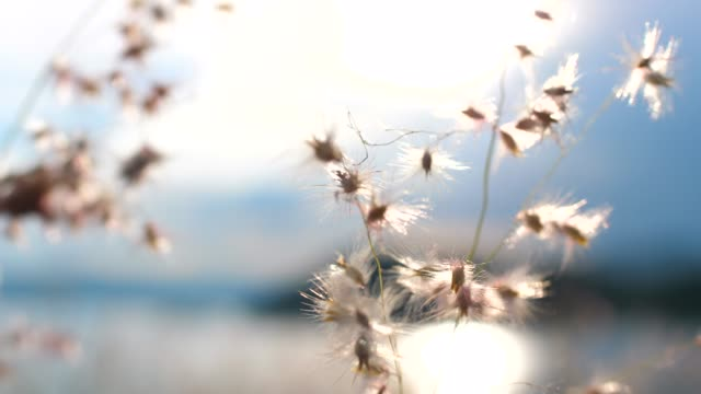 grass flowers sunset - grass family stock videos & royalty-free footage