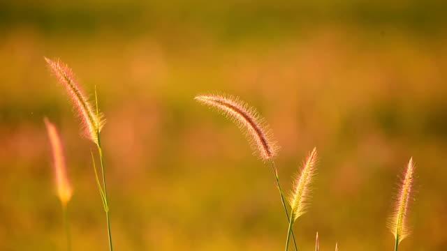 vidéos et rushes de fleurs d'herbe - image dépouillée
