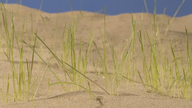 vídeos de stock e filmes b-roll de t/l grass germinating and growing in sandy substrate - germinação