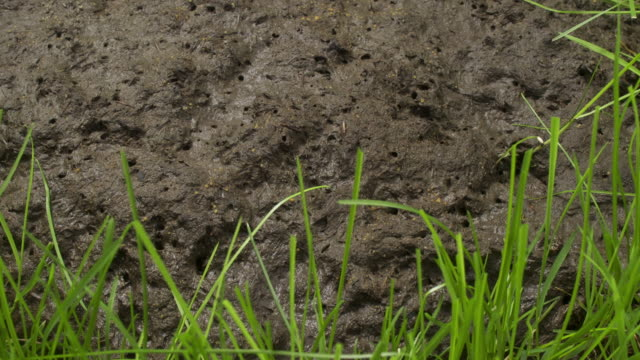 T/L grass growing around cow pat, track back, UK